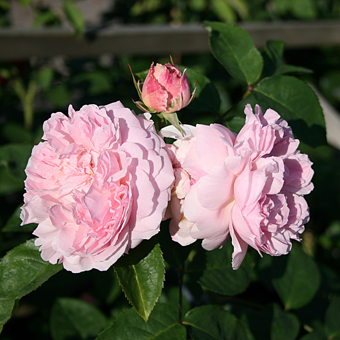 'Cottage Rose', Buskros