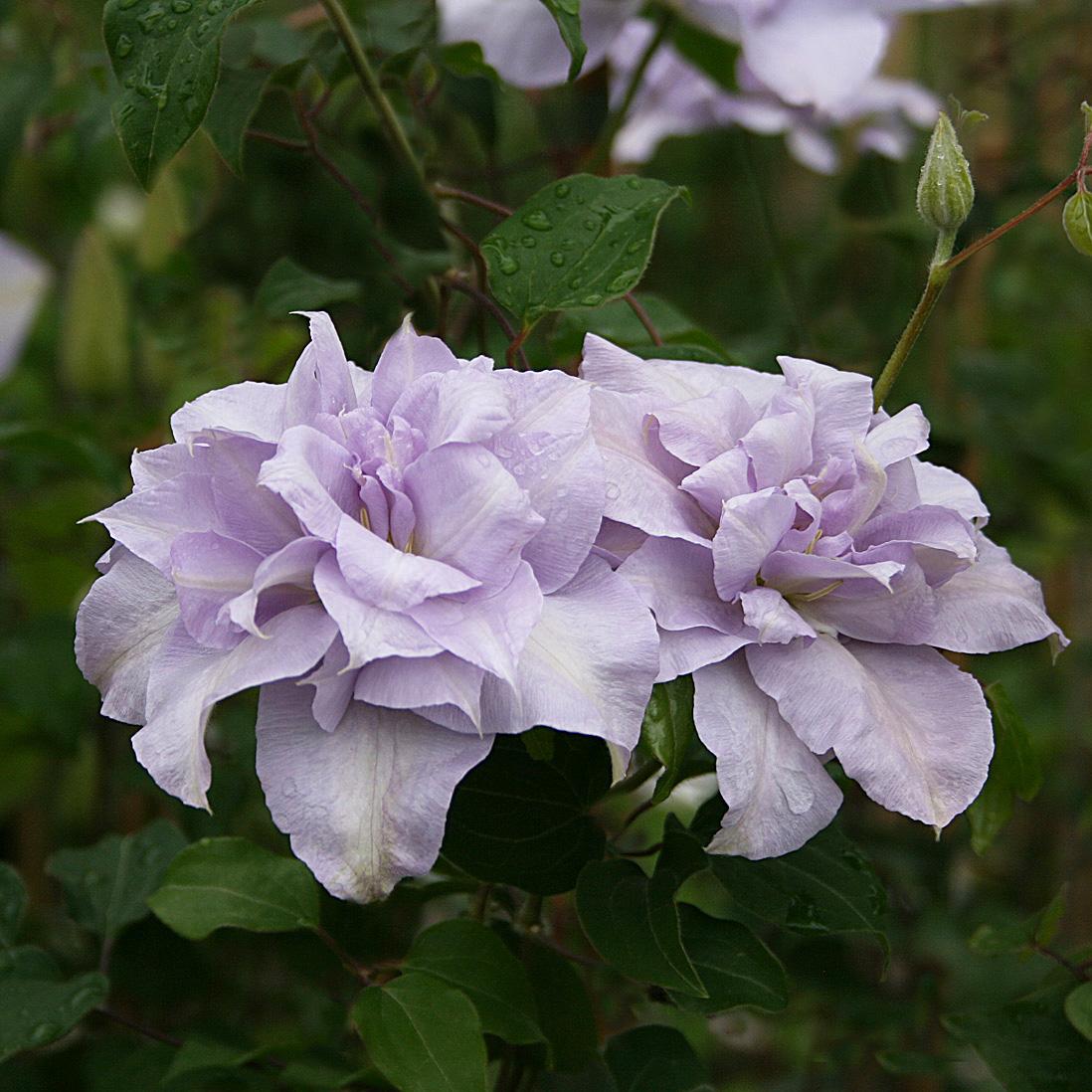 'Louise Rowe', Tidiga storblommiga-Gruppen