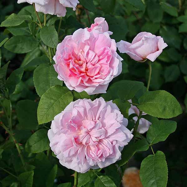 'Cottage Rose'