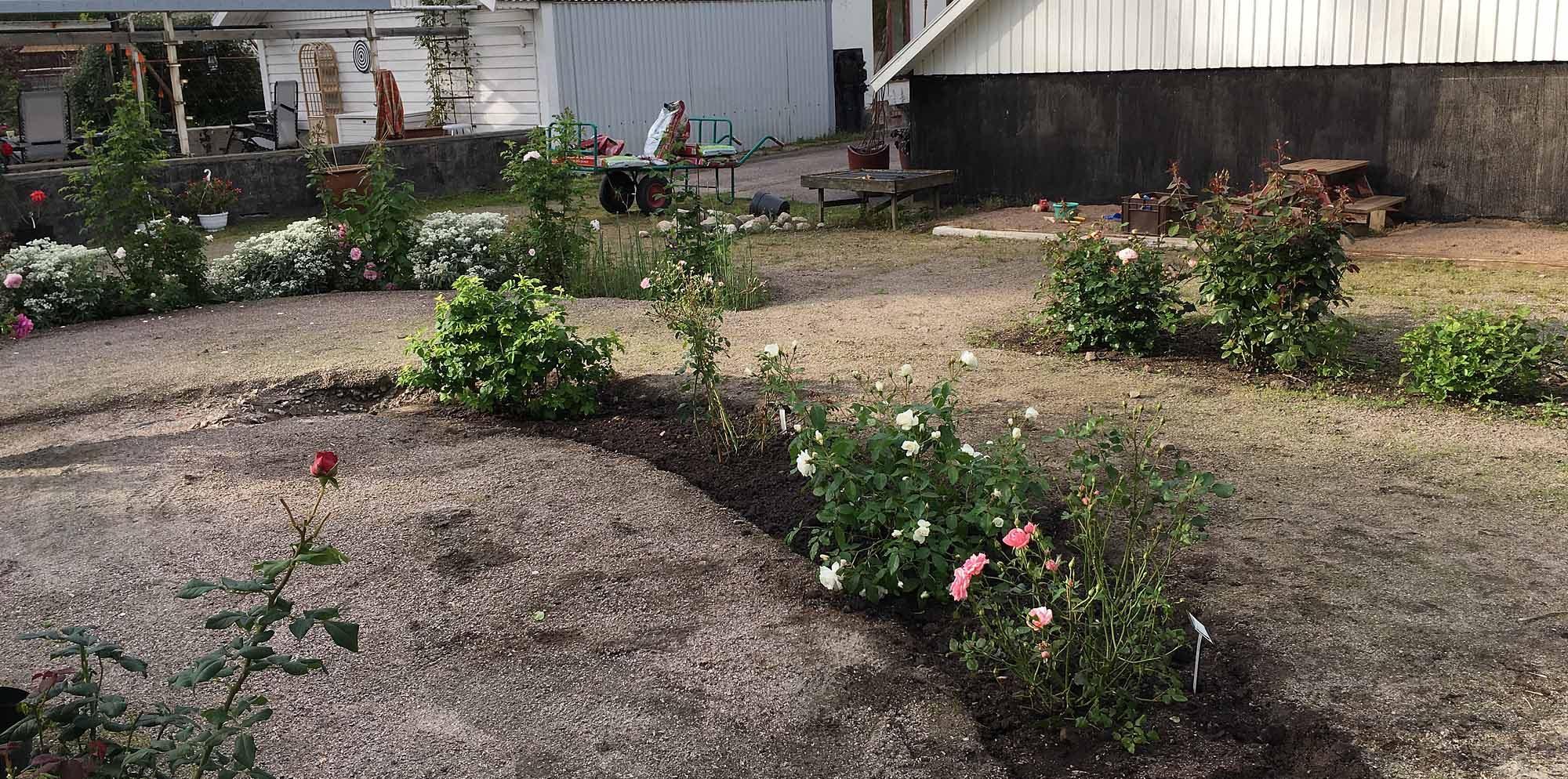 Plantering rosor